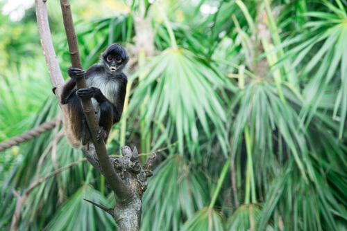 Mono araña: características, comportamiento y hábitat