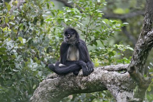 Primates: comportamiento del mono araña