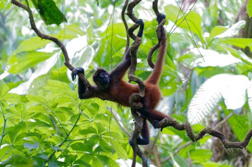 Primates: hábitat del mono araña