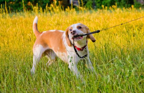 Problemas de conducta en perro: muerde correa