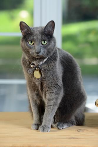 Raza gato Korat: características