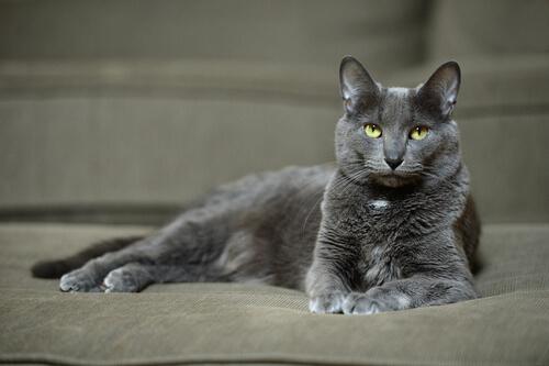 Raza gato Korat: cuidados