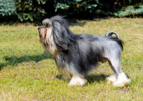 Raza lowchen o perro león: comportamiento