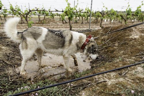 Raza mastín: un perro guardián