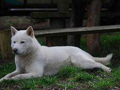 Raza de perro hokkaido: características
