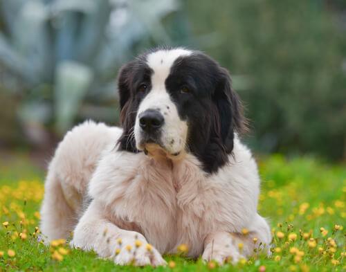 Raza de perro landseer: características