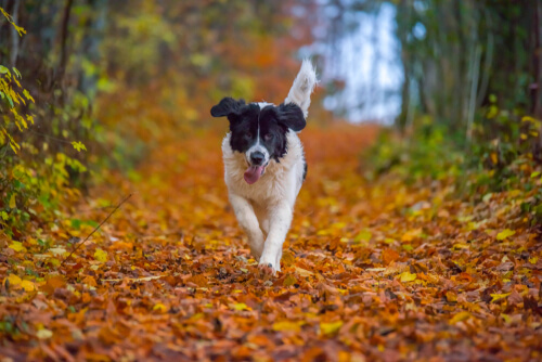 Raza de perro landseer: cuidados
