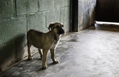 Raza de perro mastín: comportamiento