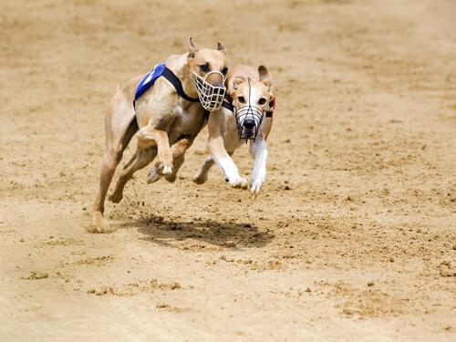 Raza de perro maygar o lebrel húngaro: comportamiento