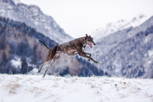 Raza de perro maygar o lebrel húngaro: cuidados