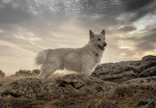 Raza de perro mudi: características