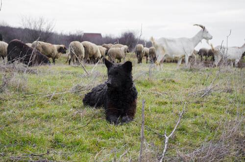 Raza de perro mudi: comportamiento