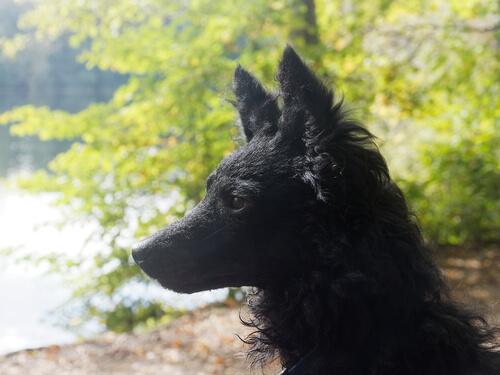 Raza de perro mudi: historia