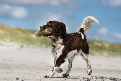 Raza de perro Münsterländer: comportamiento
