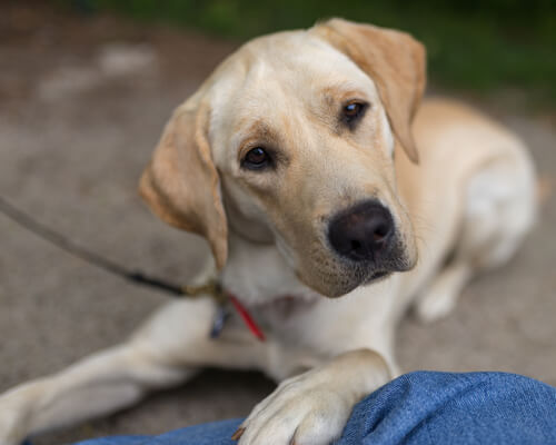 Razas de perros propensas a infecciones de oído: labrador retriever