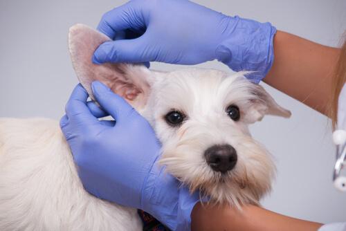 Razas de perros propensas a infecciones de oído: tratamiento