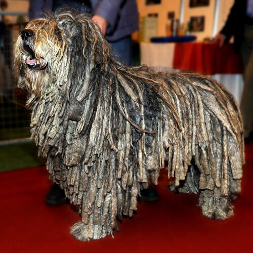 Cinco razas de perros rastafari