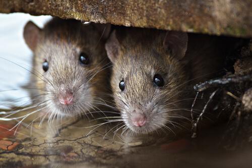 Remedios caseros para plaga de ratones