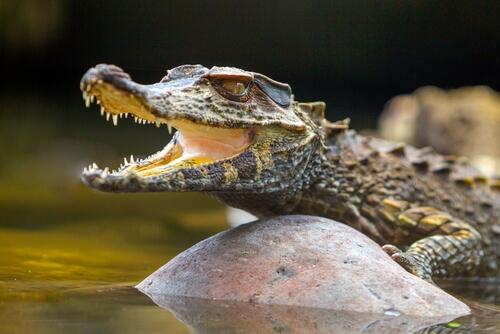Reptil: características del caimán