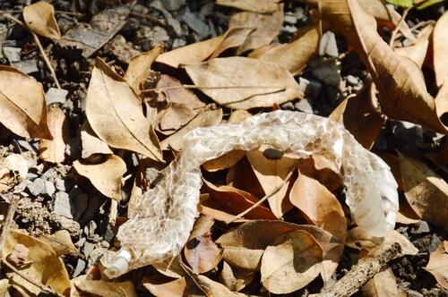 Reptiles: muda de piel de la serpiente