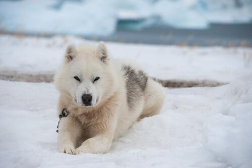 Salud del perro de Groenlandia: cuidados