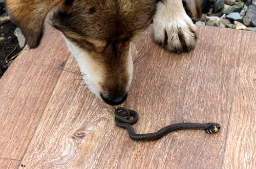 Cómo actuar si una serpiente muerde a tu perro