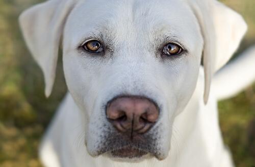 Pupilas dilatadas en perros: síntomas