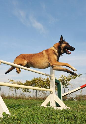 Suplementos para perros deportistas: pastor belga malinois