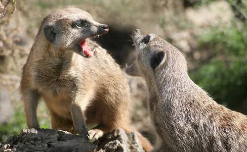 ¿Es buena idea tener un suricato como mascota?