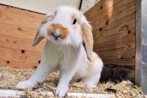 Sustrato para jaula de conejo