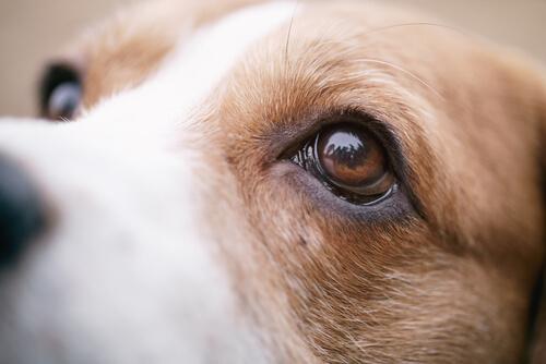 síntomas de infección ocular del cachorro
