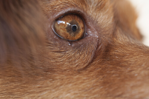 A dog with canine ocular thelaziosis