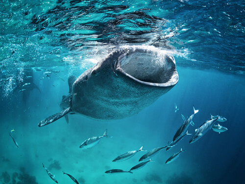 Tiburón ballena: alimentación