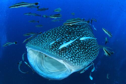 Tiburón ballena: características