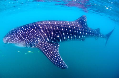 Tiburón ballena: comportamiento