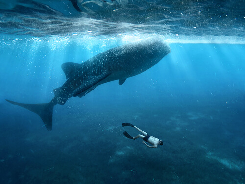 Tiburón ballena: características, alimentación y hábitat