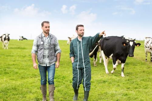 Torsión de abomaso en vacas