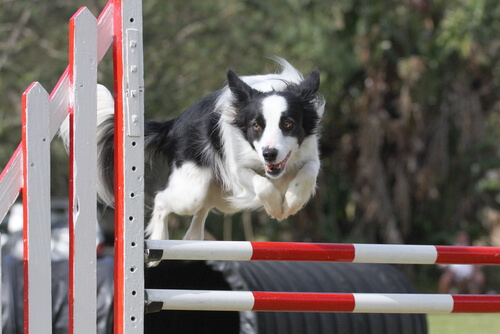 Agility con el border collie