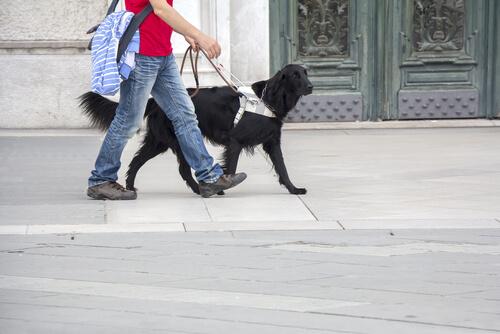 Adiestramiento de un perro guía