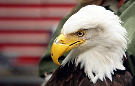 Águila con prótesis