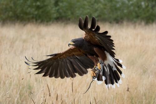 Águila de Harris: alimentación