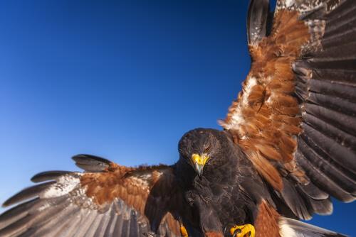 Águila de Harris: los lobos del aire