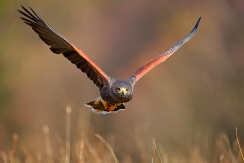 Águila de Harris: comportamiento