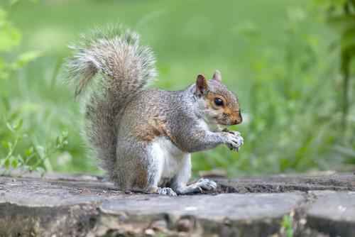 Ardilla gris: características y hábitat