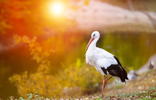 La migración de la cigüeña blanca