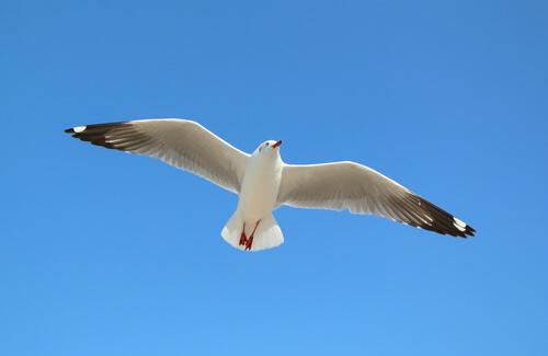 (Aves) Gaviotas: características
