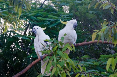 Cacatúas: hábitat