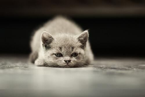 Tipos de cáncer más frecuentes en gatos
