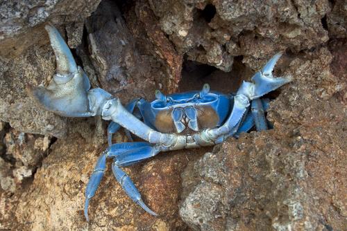 Cangrejo azul invasor