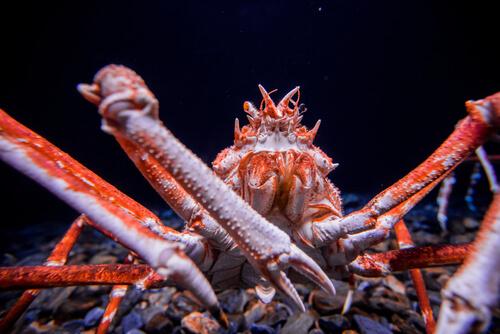 Cangrejo gigante japonés: curiosidades